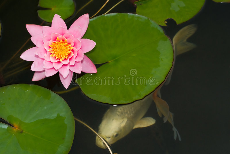 Koi Under Water Lilly Stock Image