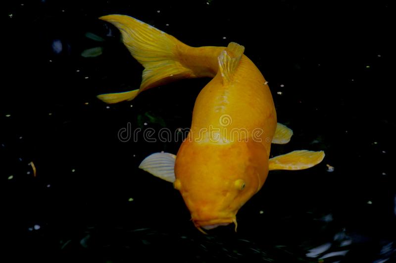 Koi Universe. An already large golden koi seems even larger floating alone in what looks like its own universe stock photography