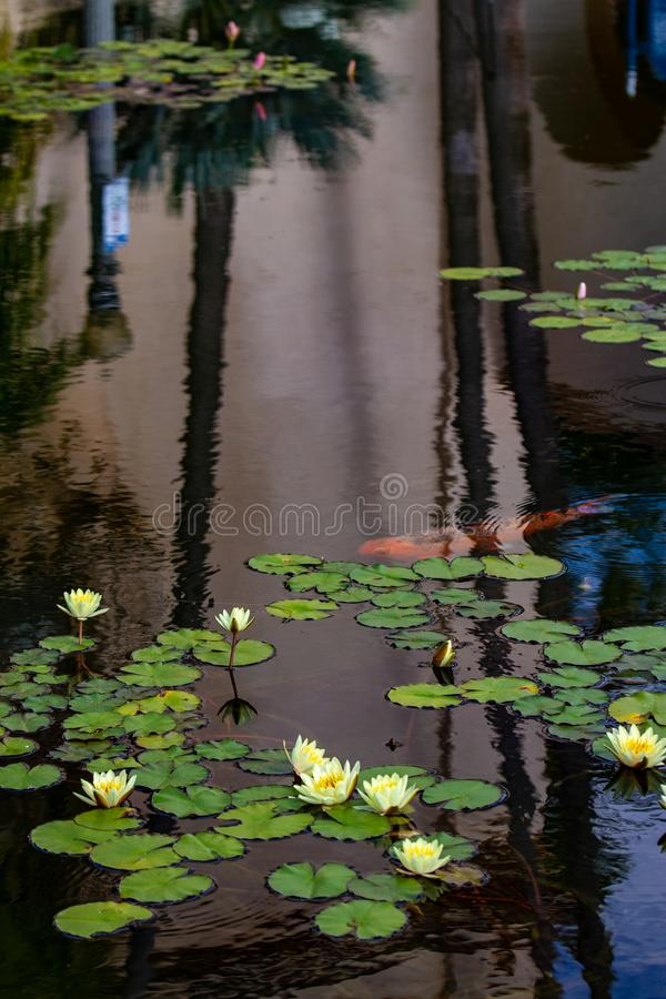 Koi and Water Lilies. An orange koi fish swims through a reflecting pool in Balboa Park, San Diego, California and beneath blooming water lilies stock photos