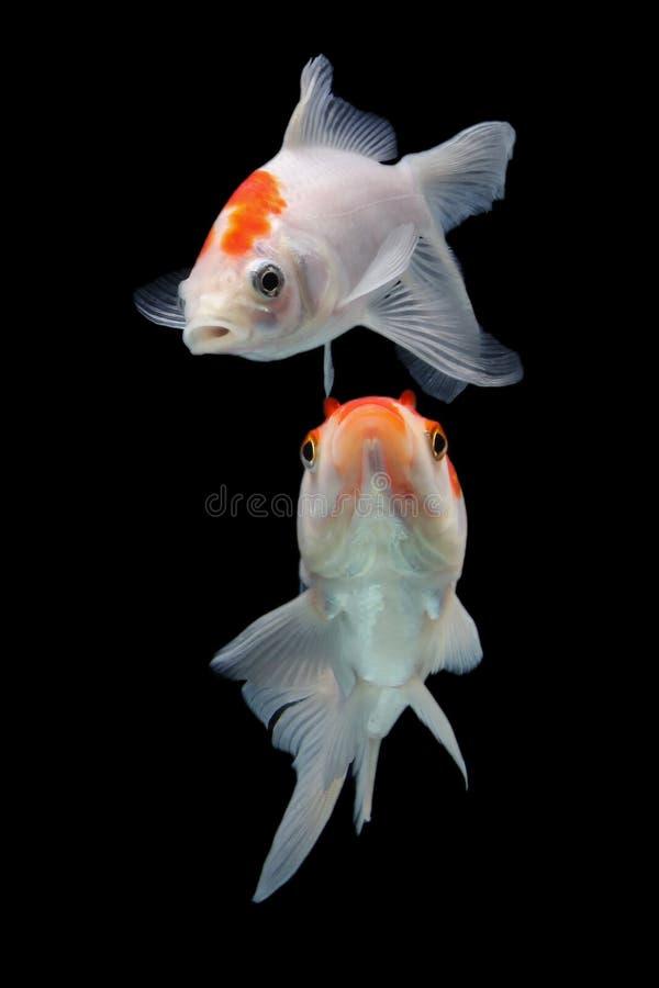 Koifish colordiversity azjata zdjęcie royalty free
