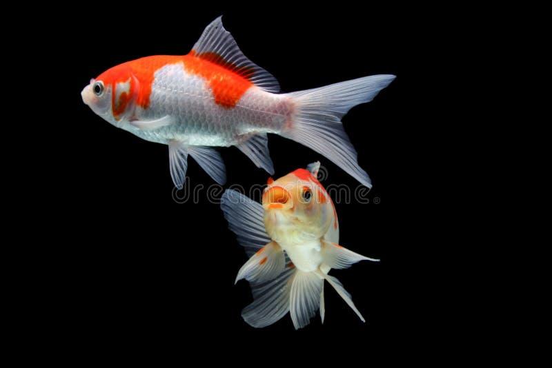 Koifish colordiversity azjata fotografia royalty free