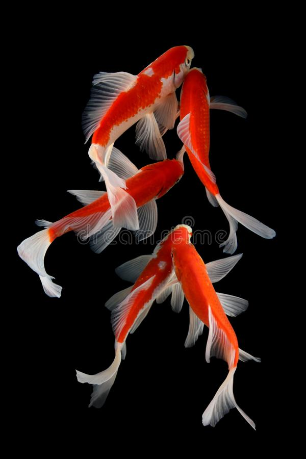 Koifish colordiversity azjata zdjęcie stock