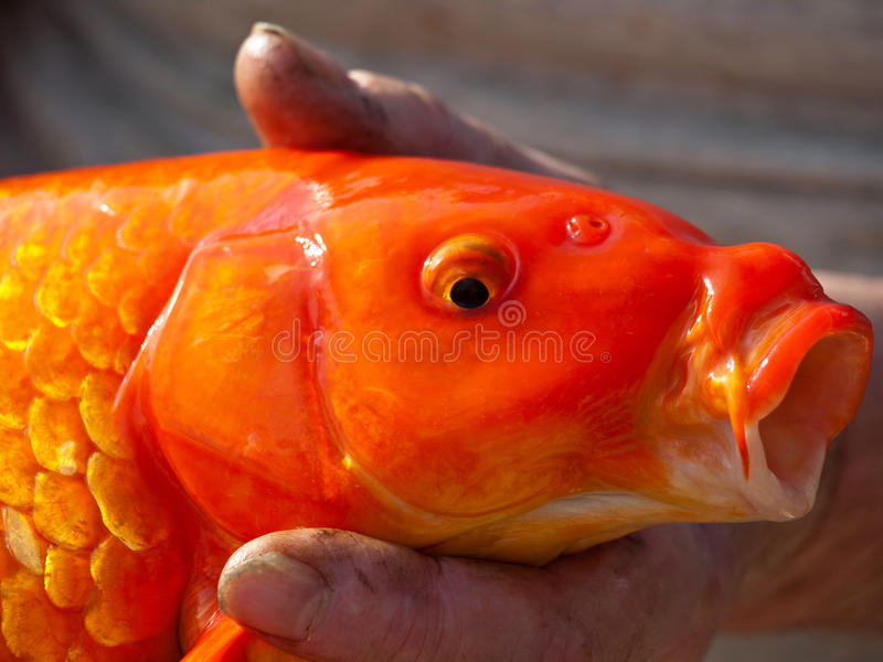 Download Koii fish stock photo. Image of expensive, lucky, breath - 25930198