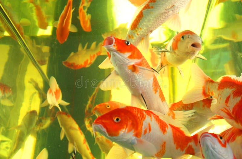 Kois in un acquario immagine stock libera da diritti
