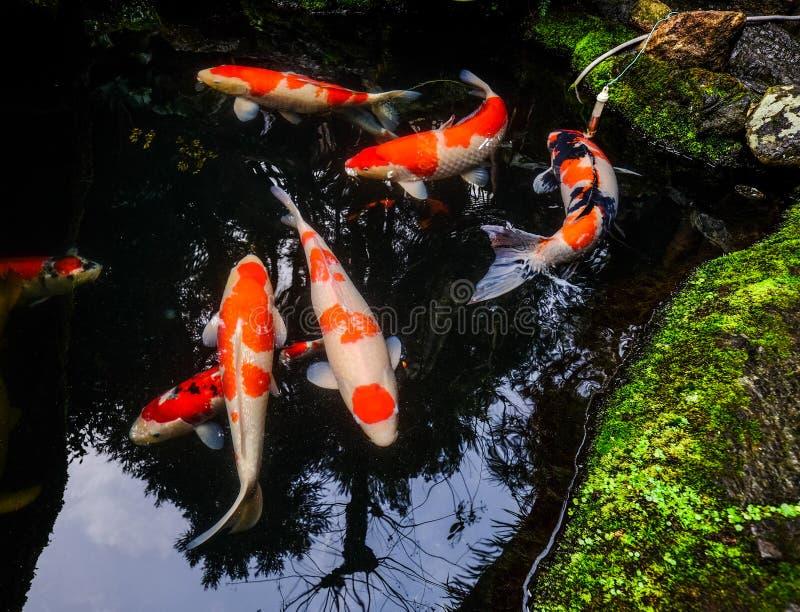 Koivissen op de vijver in Kyoto, Japan stock foto's