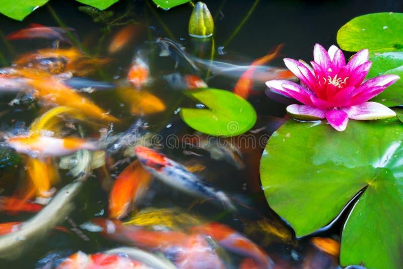 Koja Łowi dopłynięcie w stawie z różowym wodnej lelui kwiatem obrazy royalty free