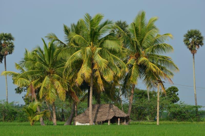 Koja i risfältfält med kokospalmer arkivbilder