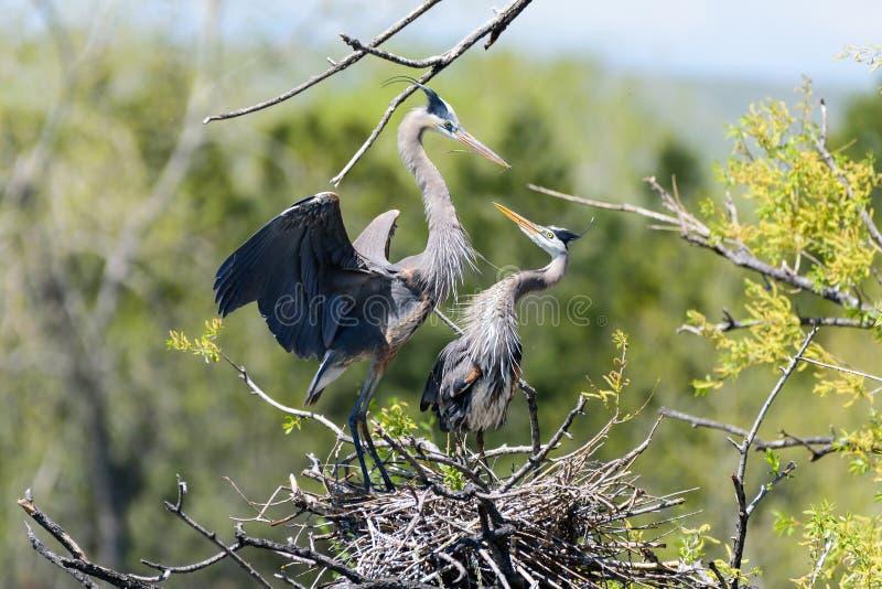Kojarzyć w parę parę Wielkiego błękita czapla w Ich gniazdeczku zdjęcie royalty free