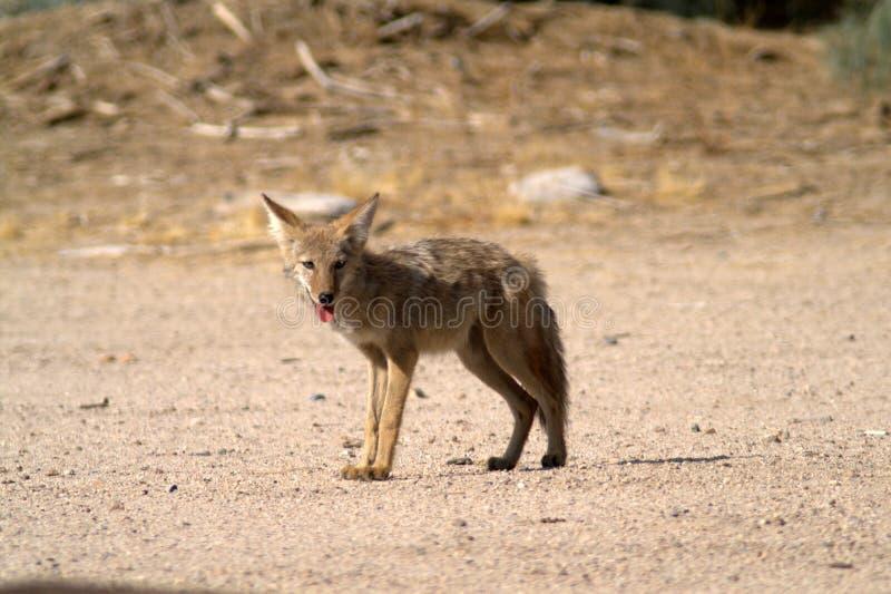 Kojotów stojaki na piasku w Mojave pustyni fotografia stock