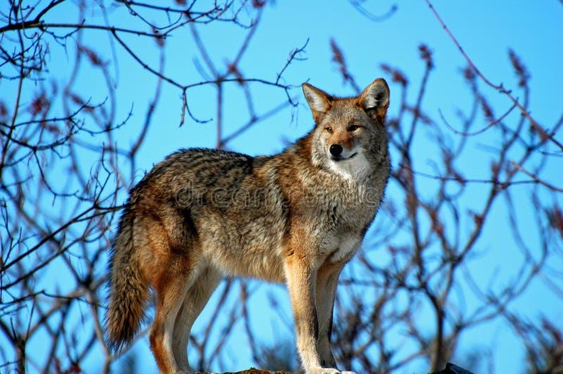 kojot obrazy stock