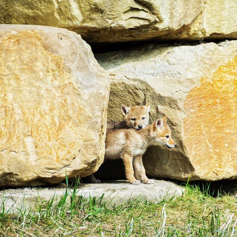 Kojot ciucie zdjęcia stock