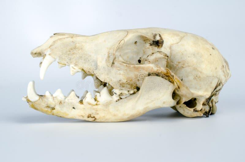 Kojot czaszki taksyderma fotografia stock