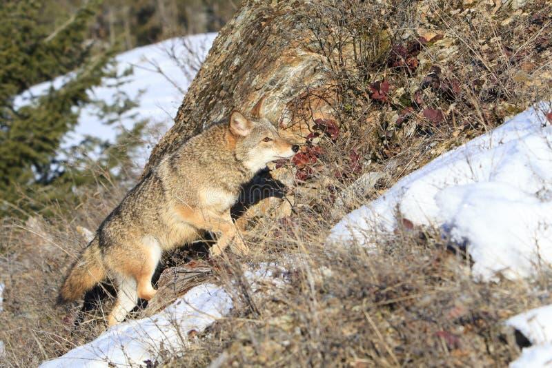 Kojot dalej grasuje obrazy royalty free