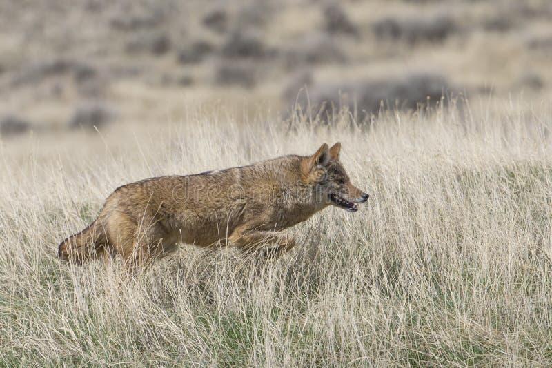 Kojot na grasującym dla jedzenia zdjęcia stock