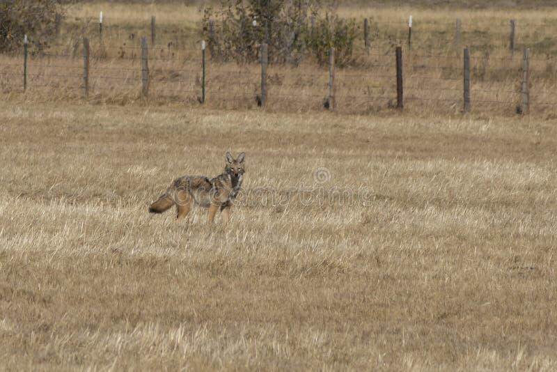 Kojot pozycja w polu obraz stock