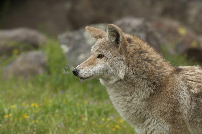 kojot trawa fotografia stock