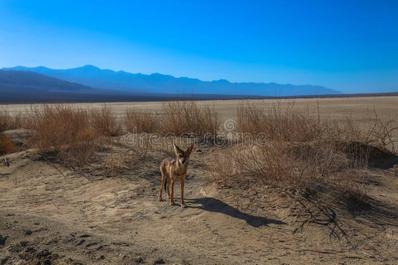 Kojot w Śmiertelnej dolinie obrazy stock