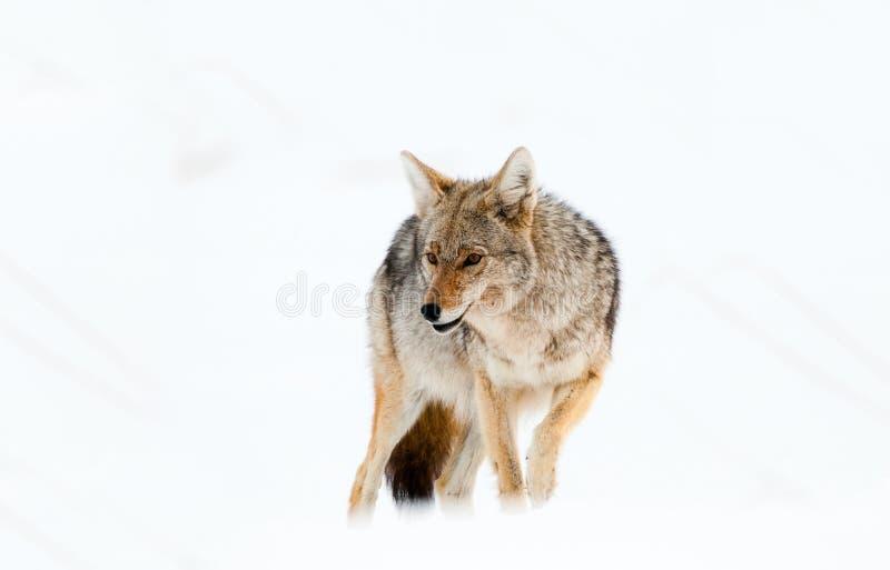 Kojot w śniegu - Yellowstone park narodowy zdjęcia royalty free