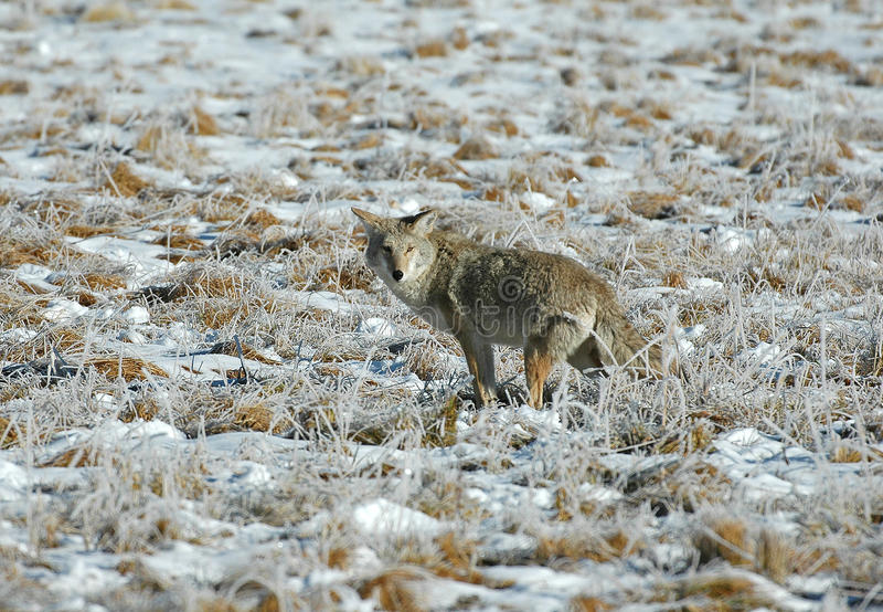 Kojot w Yellowstone parku narodowym zdjęcia stock