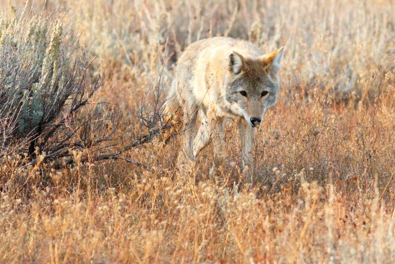 Kojota odprowadzenie w trawie fotografia stock