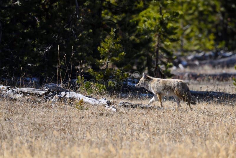 kojota park narodowy Yellowstone fotografia stock