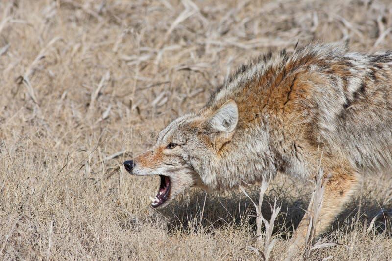 kojota plątanie obrazy stock