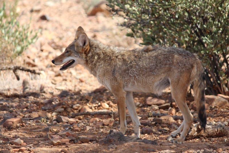 Kojote auf Schutz stockbild