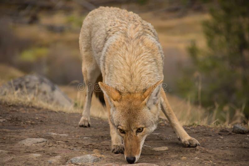 Kojote Canis latrans Yellowstone Nationalpark lizenzfreie stockbilder