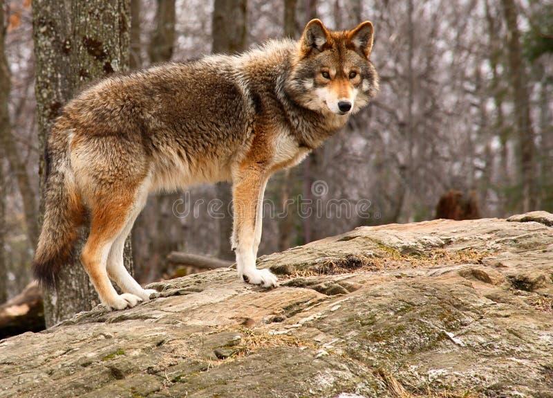 Kojote, der auf einem Felsen steht lizenzfreies stockfoto
