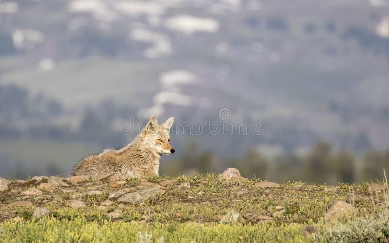 Kojote, der auf Hügel im Frühjahr liegt stockfotos