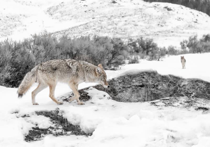 Kojote, der auf schneebedeckten Weg geht stockfotos