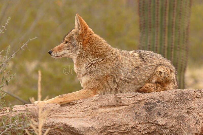 Kojote, der auf Wüsten-Felsen stillsteht lizenzfreie stockfotografie