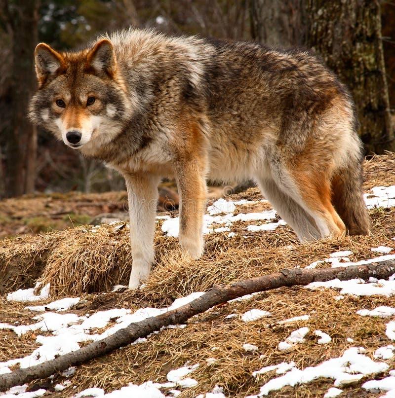 Kojote, der die Kamera betrachtet stockfotos