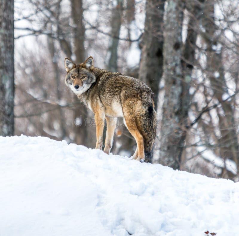 Kojote, der König-Von-D-Hügel spielt: Wer möchte ihm trotzen? lizenzfreies stockfoto