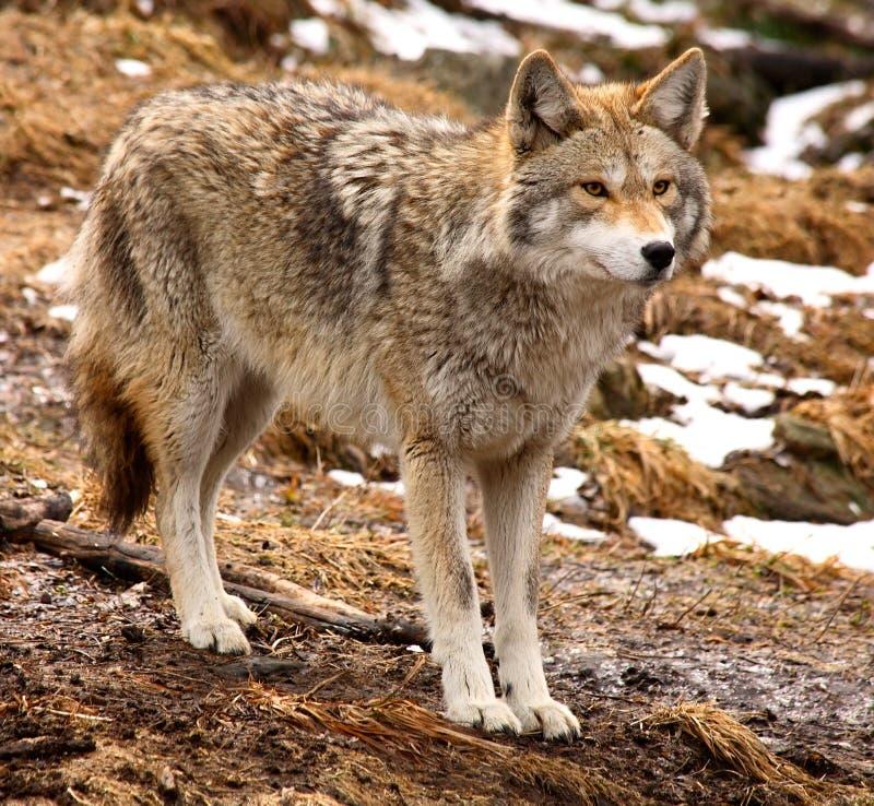 Kojote, der nach vorn schaut lizenzfreie stockfotos
