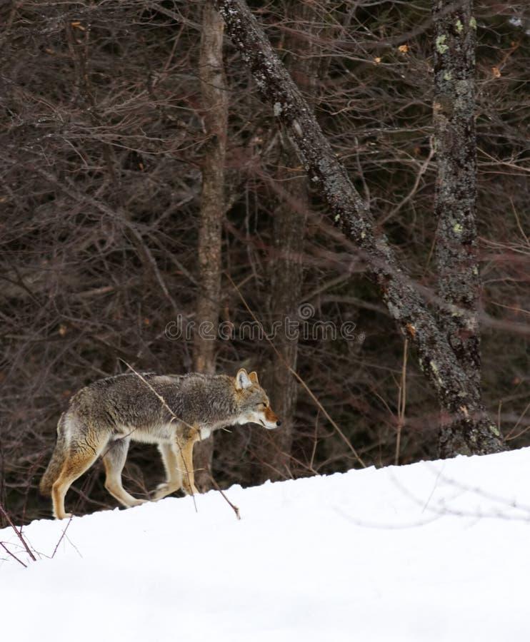 Kojote, der in Richtung zum Holz geht stockbild