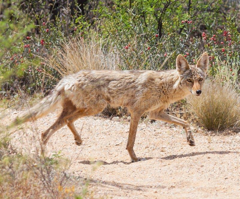 Kojote in der Wüste lizenzfreie stockfotos