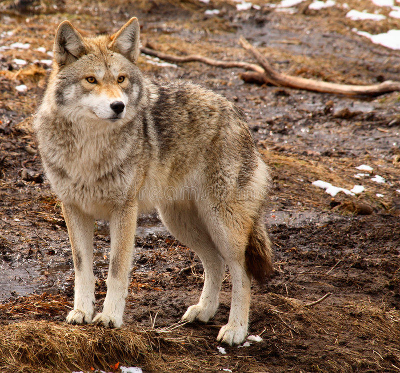 Kojote an einem Frühlings-Tag stockfoto