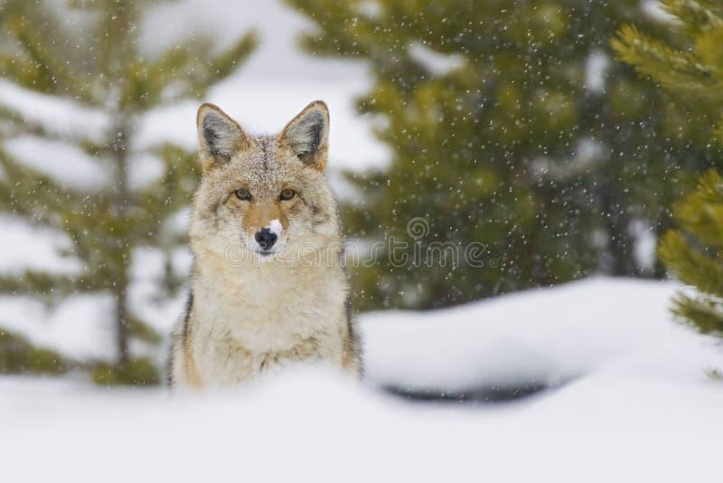 Kojote im Schnee-Sturm. Yellowstone, Wyoming lizenzfreie stockbilder