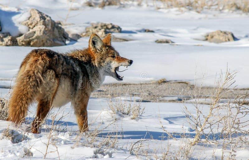Kojote mit Maus lizenzfreie stockfotografie