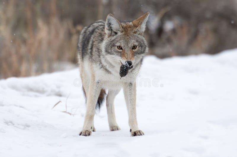 Kojote mit Wühlmaus (Maus) lizenzfreie stockfotografie