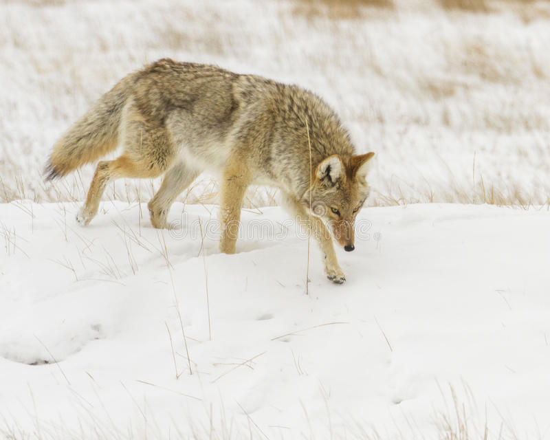 Kojotejagd für Mäuse während des Winters stockfotos