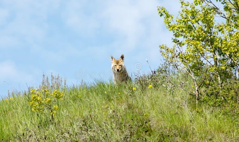 Kojotemutter stockfotografie