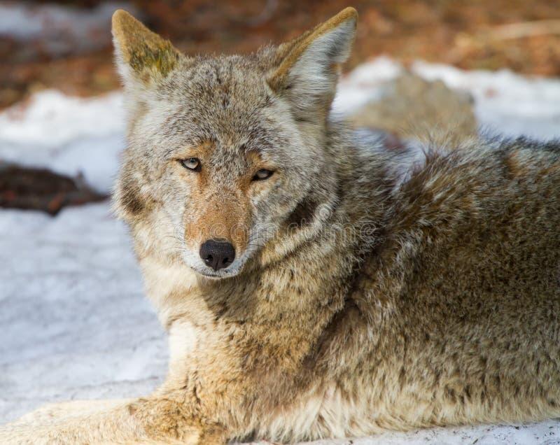 Kojoteportrait stockfoto
