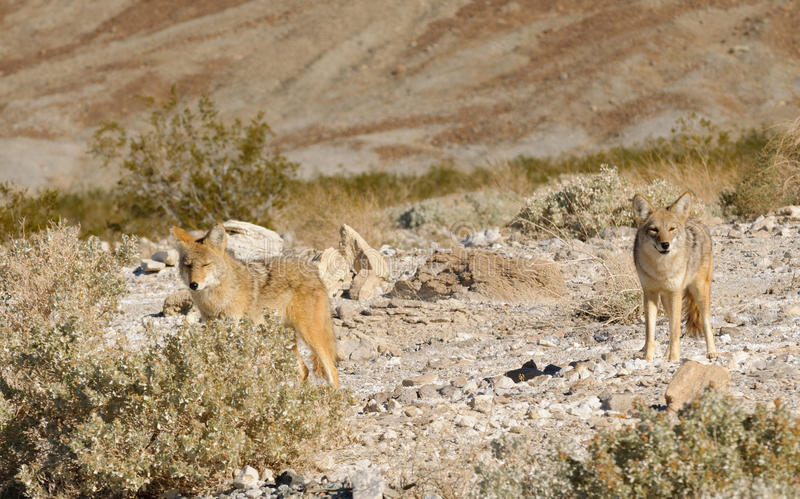 Kojoty fotografia stock