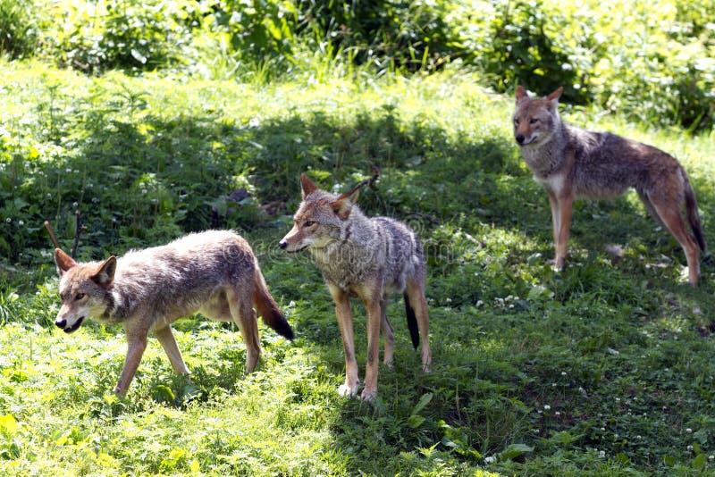 kojoty zdjęcie stock