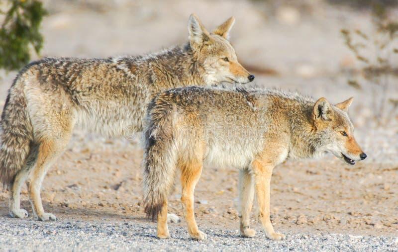 Kojoty - Canis latrans zdjęcie royalty free