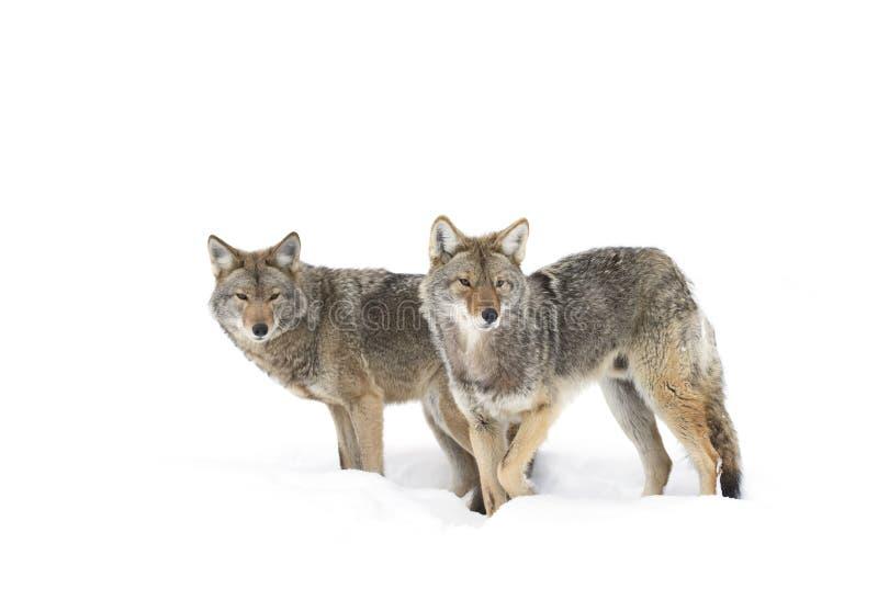Kojoty chodzi w śniegu fotografia royalty free