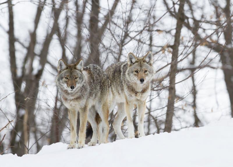 Kojoty chodzi w śniegu fotografia stock