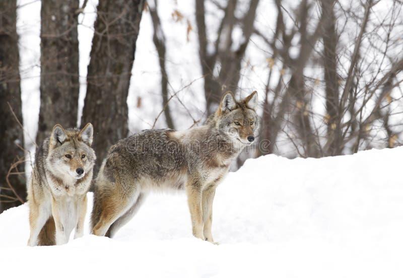 Kojoty chodzi w zima śniegu obraz stock
